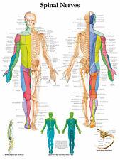 Cartel médico A3 – nervios raquídeos (libro de texto de anatomía Patología Médico Enfermera)