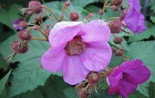 Purpleflowering Raspberry (Rubus odoratus) 30 seeds