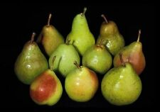 Williams' Bon Chrétien PearTree 4-5ft Ready to Fruit, Old English Dessert Pear