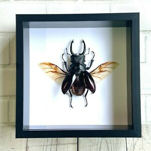 Brown Stag Beetle (Odontolabis dalmanni) Insect Deep Shadow Box Frame Display