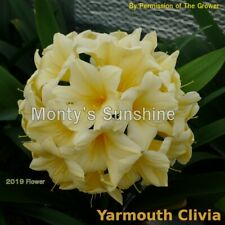 House Plant - Clivia  Sprouted Seed  -Monty's Sunshine x JvN Yellow