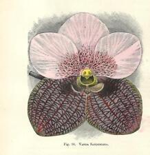 Stampa antica FIORE ORCHIDEA VANDA SANDERIANA botanica 1896 Antique print