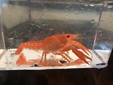 Adult Orange Crayfish Lobster
