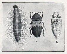 C4448 Coccinella septempunctata - Stampa d'epoca - 1926 Vintage print