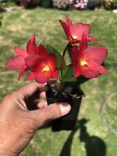 Do- Ctna. Why Not Sir, Why Not x Sophronitis cernua, Cattleya, Orchid hybrid