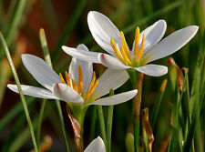 White Rain Lily (Autumn Crocus) 40  *SMALL* Bulbs; Candida; Zephryanthes Storm