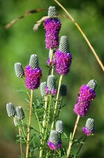 700 PURPLE PRAIRIE CLOVER Dalea Purpureum Flower Seeds