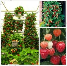 Productive 200 Climbing Strawberry Seeds Easy to Plant Easy-To-Grow Tasty Fruit
