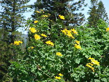 Tithonia diversifolia GIANT SUNFLOWER TREE SEEDS!