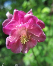 ♫ ANCOLIE des Jardins 'Nora Barlow' - Aquilegia vulgaris ♫ Graines ♫ Ornementale