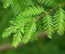 Dawn Redwood Tree - Metasequioia - Outside or Bonsai - Quart Pot