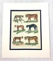 1816 Antico Stampa Tigre Cougar Panther Wildcat Buffon Mano Colorato Incisione