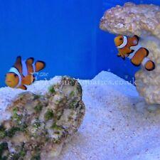 CLOWN FISH (Amphiprion ocellaris) MARINE AQUARIUM FISH (WICKFORD, ESSEX)