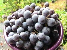 5 Concord Grape Seeds