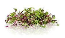 Rainbow Blend Microgreens. Excellent. 1,000 seeds SAME DAY SHIPPING