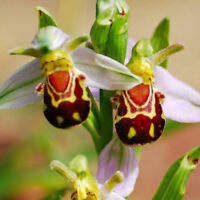 50Pcs Rare Smile Face Bee Orchid Flower Seeds Home Garden Plant Seeds Decor KW