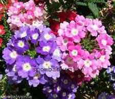 200 Verbena Hybrida Seeds Garden Vervain Mixed Colors Fragrant Flower Perennial