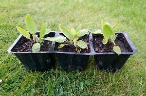 Comfrey Plants x3