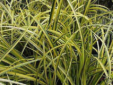 Grasartiger Garten Kalmus Acorus Gramineus Ogon 15-20cm  immergrünes Ziergras