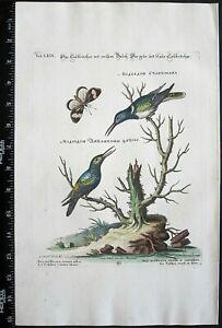 Edwards/Seligmann,Hummingbird,Avia mellivora ventre blanc,handc.engr.c,1749#69