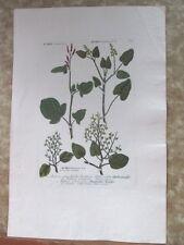"Vintage Engraving,RUMAX,C.1740,WEINMANN,Botanical,20x13.5"",Mezzotint"