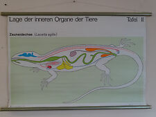 Q2247  Lehrtafel - Schultafel - Lehrmittel - innere Organe - Zauneidechse