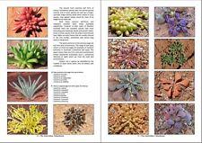 Australian succulent Calandrinia seeds plus booklet,spectacular native succulent