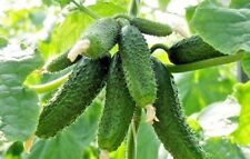 Seeds organic Cucumber On the envy of neighbor F1  from Ukraine