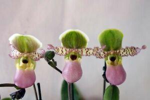 Angebot! 3 Paphiopedilum Pinocchio Revolverorchidee Frauenschuh inkl. Versand