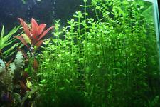 1 Touffe de bacopa monieri plante  aquarium