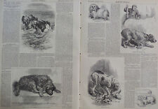 DOGS AND THEIR DOINGS BLOOD HOUND HARPER'S WEEKLY 1871