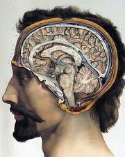 Vintage Medical Anatomy Brain Illustration Chart 8x10 Real Canvas Art Print New