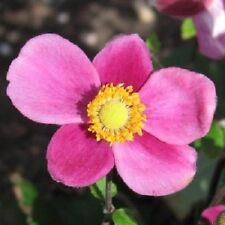 30+ Pink Anemone / Perennial Flower Seeds