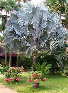 Bismarck Palm Tree Seeds