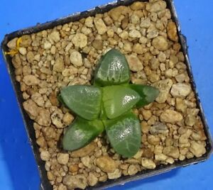 Haworthia bayeri 'Suisyo', 5 cm p o t , Phyto available