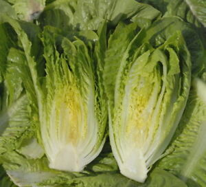 Lettuce 300 Claremont Seeds - UK Seller
