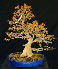 Bonsai Tree Specimen Imported from Japan Trident Maple Tmstq414-509