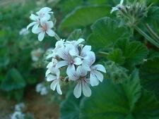 Pelargonium australe - Native Geranium 15 seeds