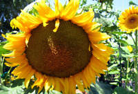 Mongolian Giant Sunflower Helianthus Annuus 15 Flower Seeds Up to 4m Tall