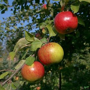 Gravensteiner Sommerapfel Apfelbaum 2 jährig 120 - 150 cm Apfel Buschform