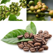 100x Hawaii Kona Kaffee Bohne Samen einfach genial Garten wachsen Pflanzensamen