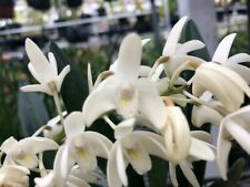 Den. Kingianum - Fragrant white Australian orchid min. 4 bulbs (Blooms are done)