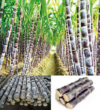 50Pcs New Black Sugar-cane Seeds Rum Syrup Sweet Rock Candy Sugar Crystals BD94