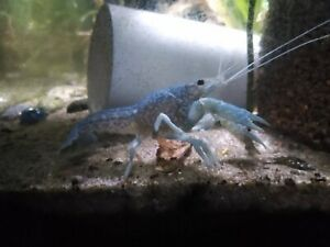 🦞🦞🦞 Self-Cloning Blue Marbled Crayfish Marmokrebs  FREE SHIPPING 🦞🦞🦞