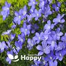 BLUE FLAX - 2100 SEEDS - Linum perenne - Perennial Flower