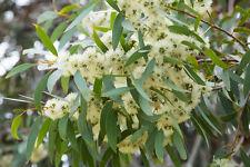 EXOT Blüten Rarität Saatgut seltene Balkon Pflanze ZITRONEN-  EUKALYPTUS