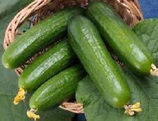 250 Cucumber Seeds Beit Alpha GARDEN SEEDS