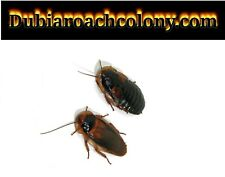 40 pregnant females and 20 male Adult dubia roaches FREE SHIPPING feeders Roach