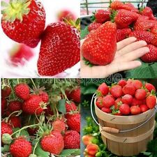 200 Seeds of Strawberry Red Four Seasons Fruit Pot Balcony Garden Yard Planting