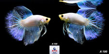 Live Betta Fish A100 Male Royal White Platinum Neon Glow Rare